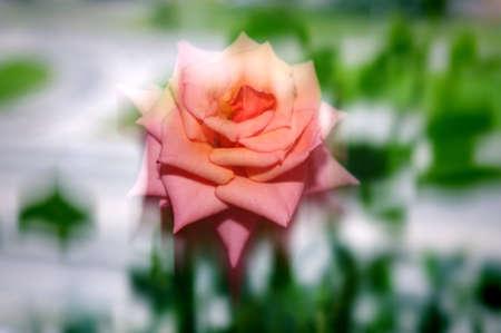 Rose, bloemen