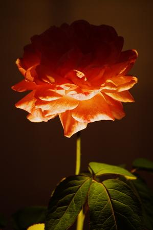 flower rose Stock Photo