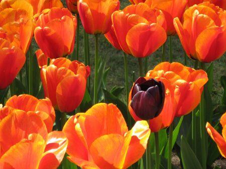 solter�a: Un oscuro entre tulipanes naranjas