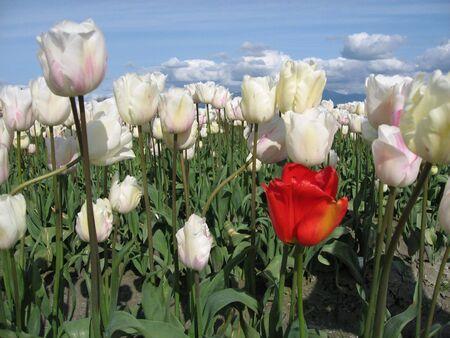 solter�a: Un tulip�n rojo entre los blancos
