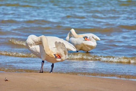 Sea swans on the coast of the Baltic Sea. Seascape and white birds. Sunny day.