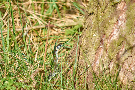 Snake in the grass. He leaned out of the grass to look around. 版權商用圖片