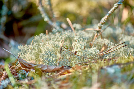 Moss and lichen. Green lichens covered tree branches. Wood near Baltic sea.