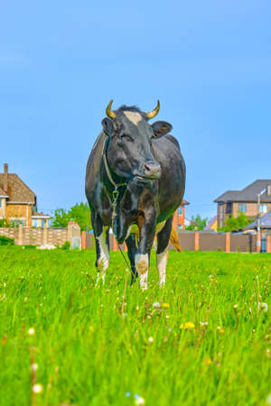 Funny cow on a green meadow. Black and white cow grazing on meadow. Russian ecological farm