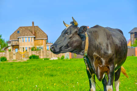 black and white cow in green grassy summer meadow under blue sky. Russian ecological farm Reklamní fotografie