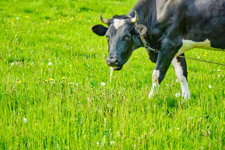 Black and white cows in a grassy field on a bright and sunny day. Russian ecological farm