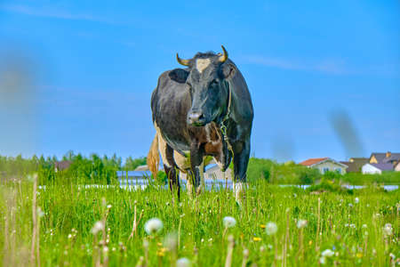 black and white cow grazing on meadow. Russian ecological farm