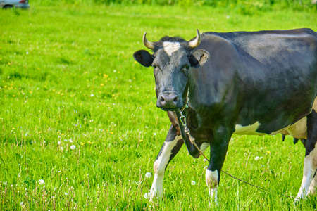 The black and white cow is eating the grass on the pasture. Russian ecological farm