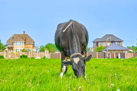 cow on meadow. Russian ecological farm