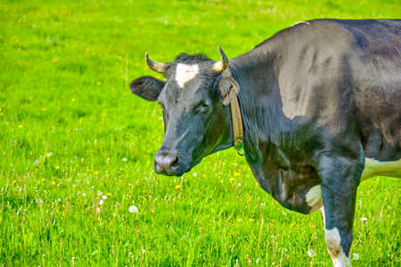 black and white cow in green grassy summer meadow under blue sky. Russian ecological farm 版權商用圖片