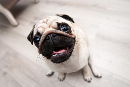 snouts: Funny pug snout. Fish eye. Snout pug.