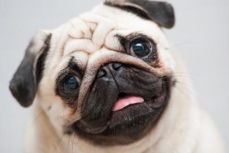 snout: Funny pug snout. Snout pug. Close-up. Soft Focus.