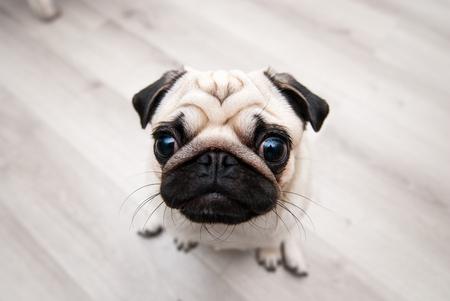 snout: Funny pug snout. Fish eye. Snout pug.