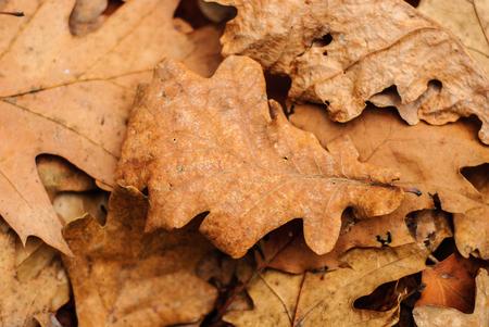 Dry fallen leaves. Dry leaves of oak, maple.