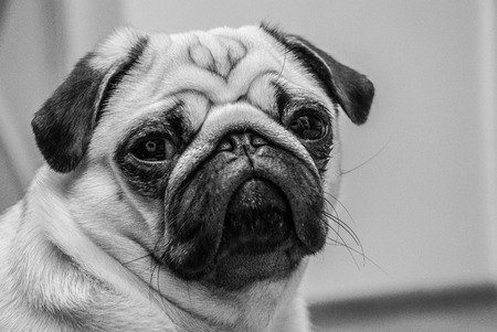 Black-and-white portrait of a serious pug