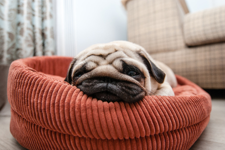 Very tired pug on the lounger