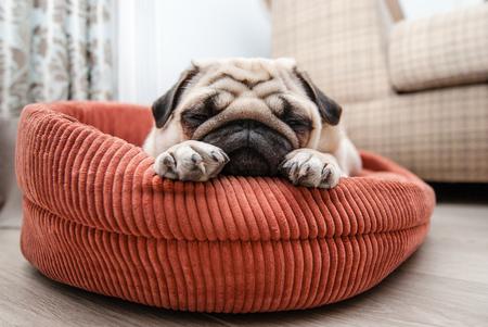 Pretty pug sleeps on his lounger