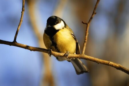 tomtit: The Winter wood. The Tomtit on branch.