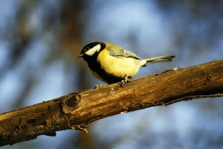 The Winter wood. The Tomtit on branch. photo