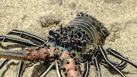 Fresh lobster in bright colors on the sand. Daylight, outdoors. Close-up.