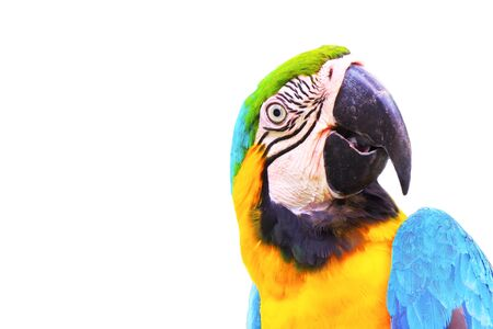 close up head of macaw parrot isolated on white background. Stock Photo