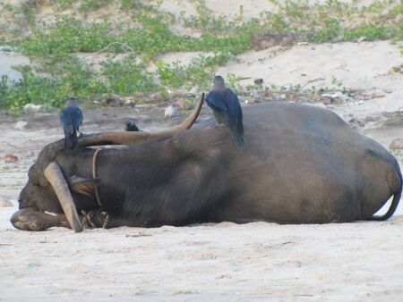 Holy Indian cows resting on the sea beach in north goa. cow stands on the sand Stock Photo