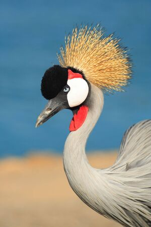 Crowned Crane in safari.Israel.It is photographed on a background of lake. Imagens