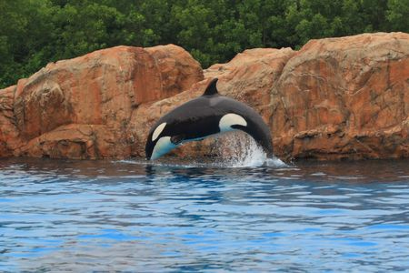 Jumping killer whale photo