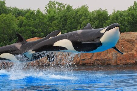 ping killer whales photo