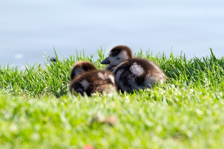 webbed foot: Two duckling on a grass background