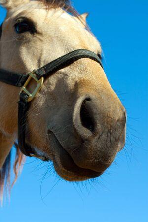 close up   head: Close up head shot of beautiful horse
