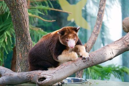 Dendrolagus kangaroo sitting in a tree Imagens