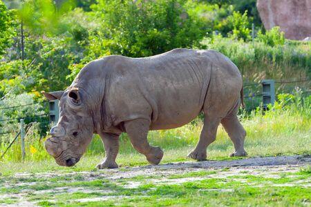 herbivore natural: Rhino at the zoo