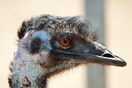 emu bird: Ostrich emu