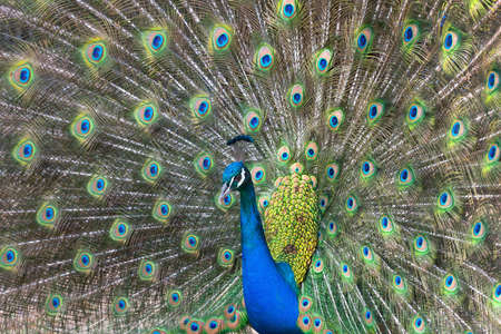 Peacock displaying his colorful feathered tail photo