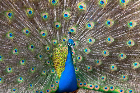 blue peafowl: Peacock displaying his colorful feathered tail