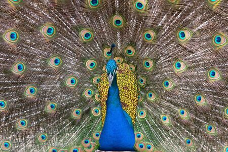 Peacock affichant sa queue color�e plumes photo
