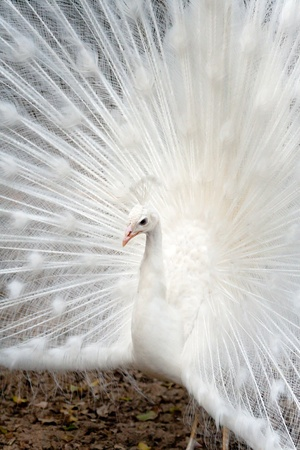 animal ritual: White peacock displaying hers colorful feathered tail