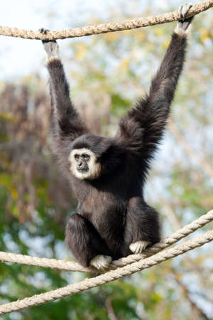 weighs: Gibbon monkey on a rope weighs in zoo