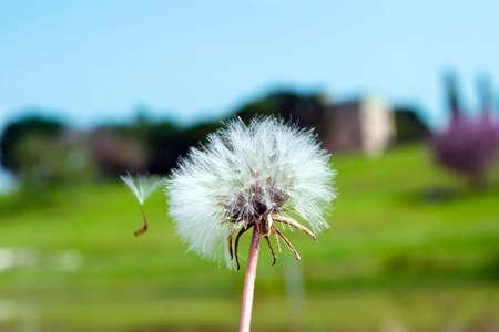 A lone dandelion in the park Reklamní fotografie