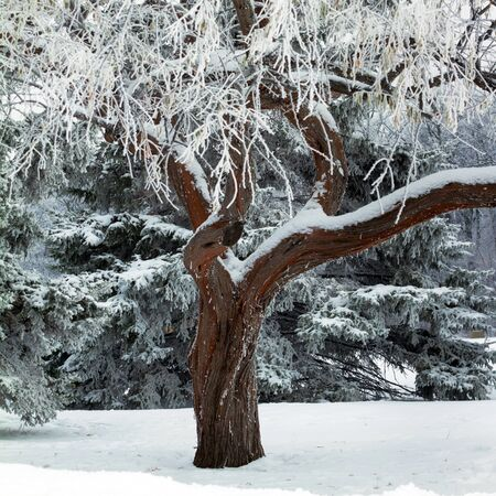 wintry landscape: Snow and ice surrounding bare tree  in winter