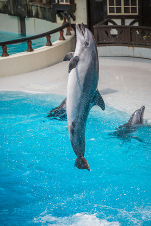 fish exhibition: Jumping dolphin out of the water in the pool show  Editorial