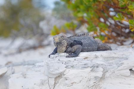 echse: Cuban Iguana, wildlife. Cayo Largo