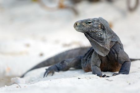 echse: Island iguanas in wildlife.