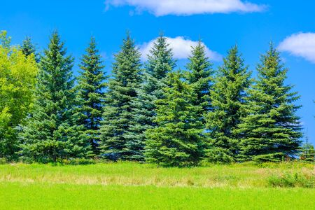 Beautiful pine trees on background blue sky Stock Photo