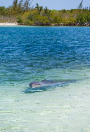 caribbean beach: Dolphins in the caribbean sea. Cayo largo, Playa Sirena. Stock Photo