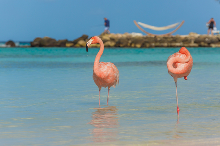 aruba: Flamingos on the Aruba beach. Flamingo beach