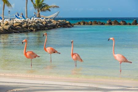 Flamingo's op het strand van Aruba. Flamingo strand