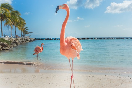 Flamencos en la playa de Aruba. playa Flamingo Foto de archivo - 67106283