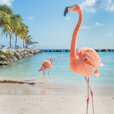 tropical bird: Flamingos on the Aruba beach. Flamingo beach
